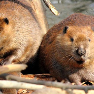 beavers damming stream